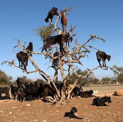 chèvres sur des arbres